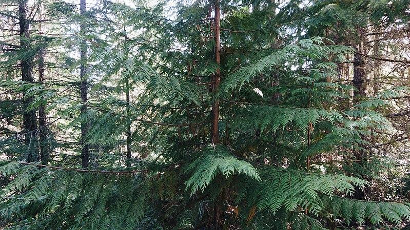 cedar wood front gate